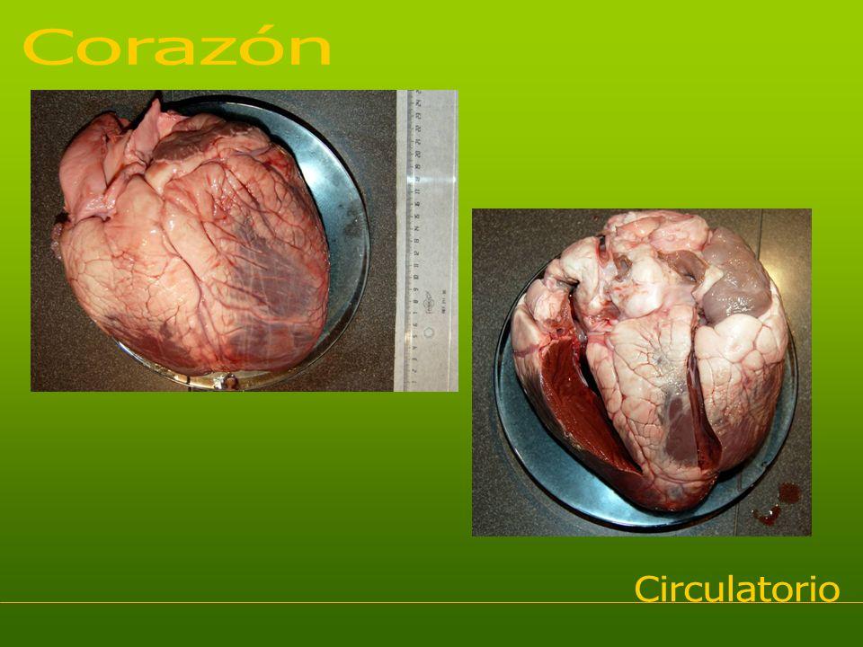 Corazón Circulatorio