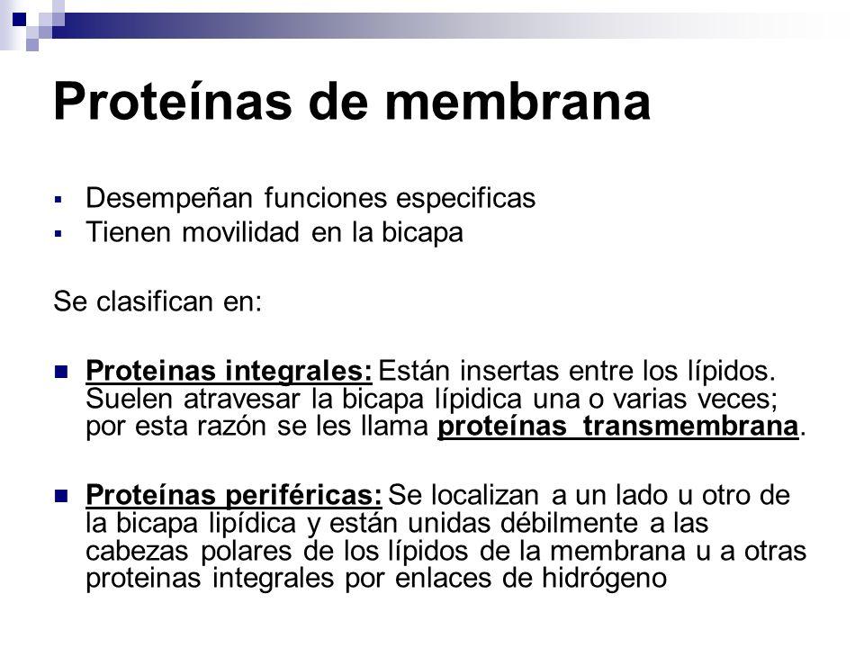 Proteínas de membrana Desempeñan funciones especificas