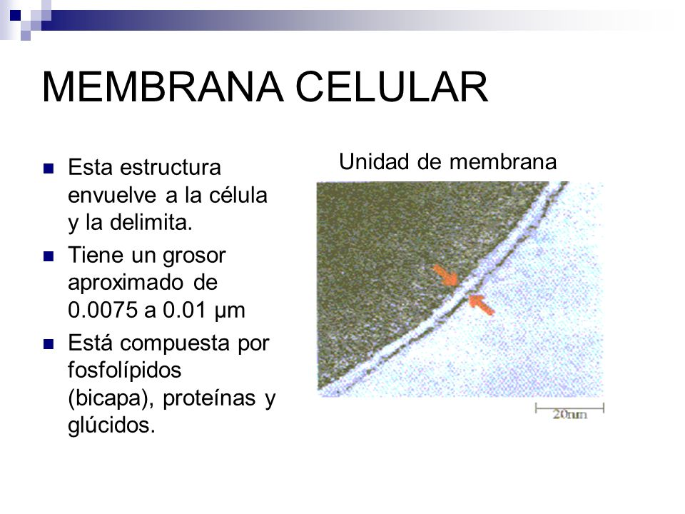 MEMBRANA CELULAR Unidad de membrana