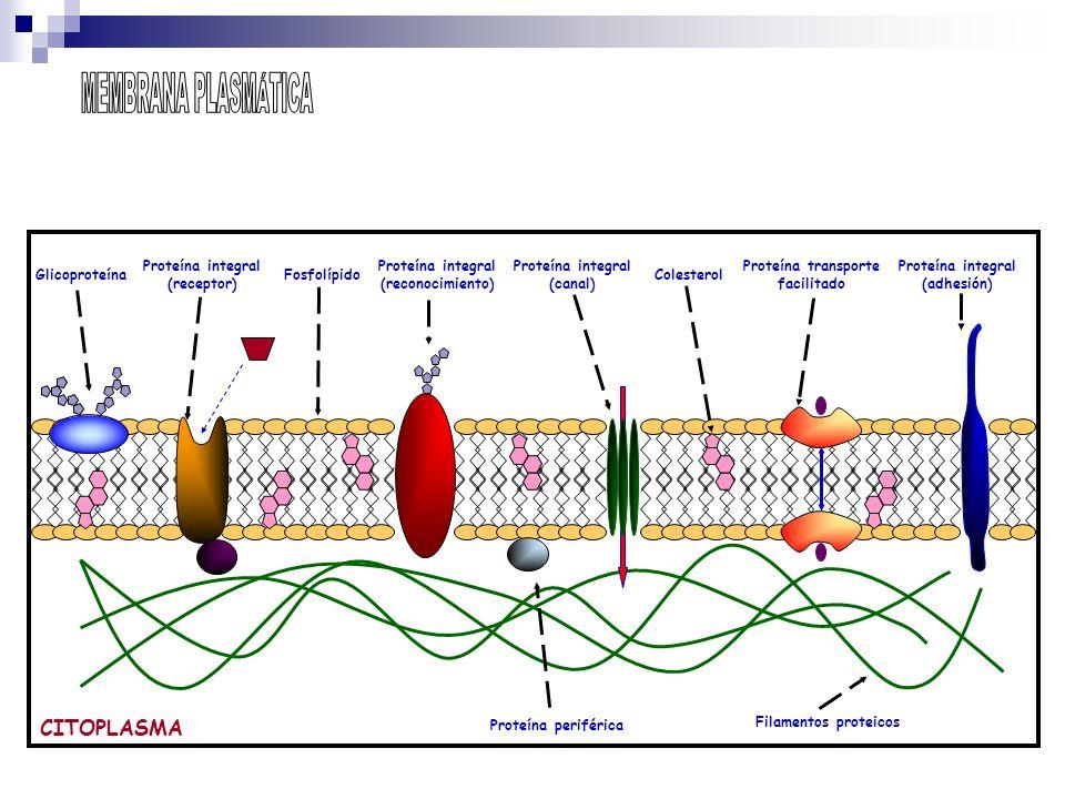 MEMBRANA PLASMÁTICA CITOPLASMA Glicoproteína Proteína periférica