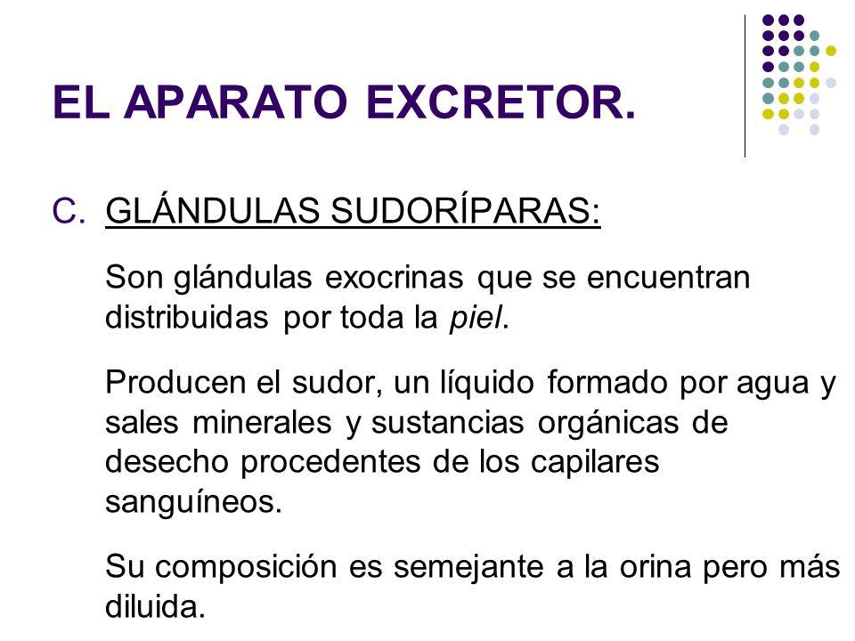 EL APARATO EXCRETOR. GLÁNDULAS SUDORÍPARAS: