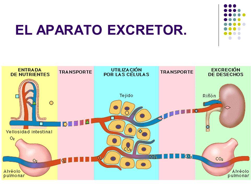 EL APARATO EXCRETOR.