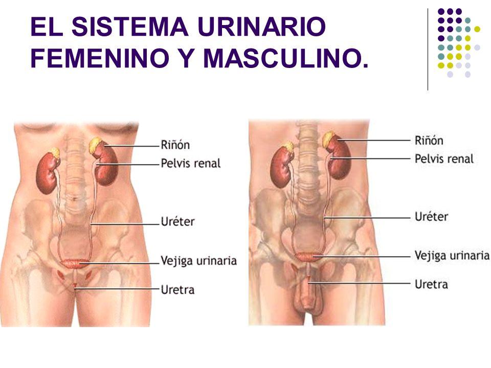 EL SISTEMA URINARIO FEMENINO Y MASCULINO.