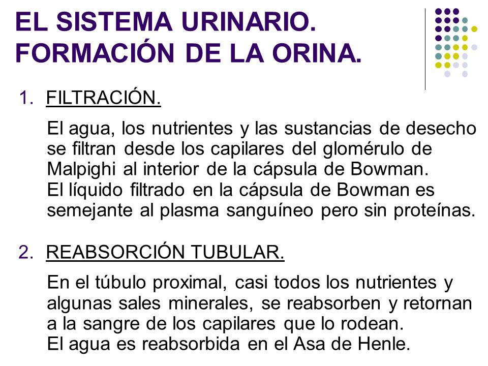 EL SISTEMA URINARIO. FORMACIÓN DE LA ORINA.