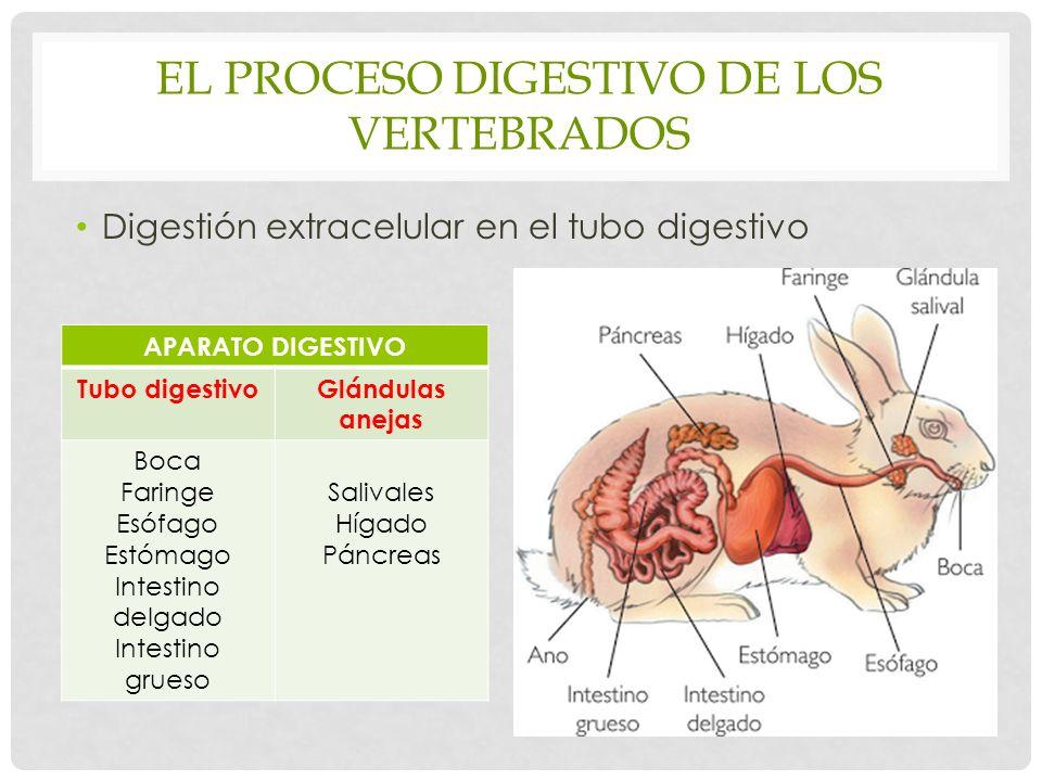 EL PROCESO DIGESTIVO DE LOS VERTEBRADOS