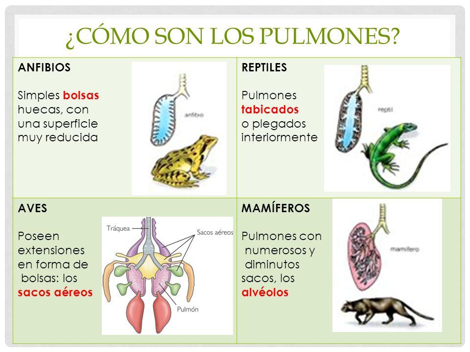 ¿Cómo son los pulmones ANFIBIOS Simples bolsas huecas, con