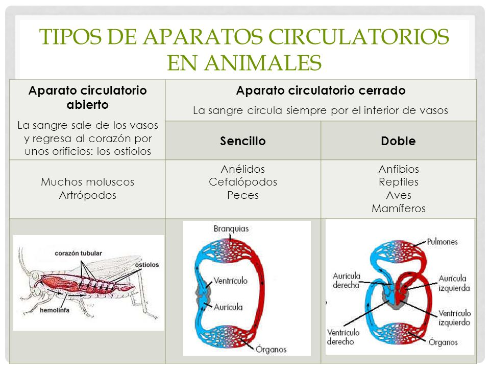 Tipos de aparatos circulatorios en animales