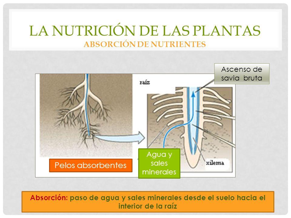 La nutrición de las plantas Absorción de nutrientes