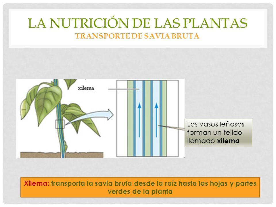 La nutrición de las plantas transporte de savia bruta
