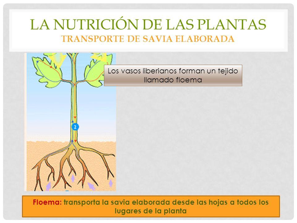 La nutrición de las plantas transporte de savia elaborada