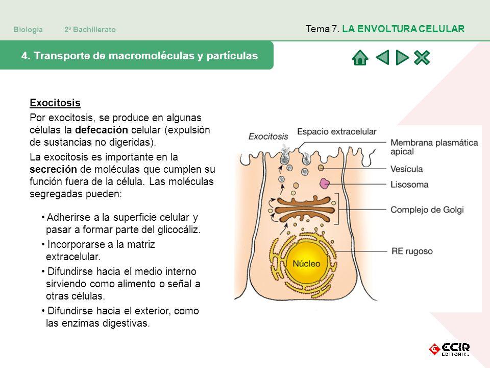 4. Transporte de macromoléculas y partículas