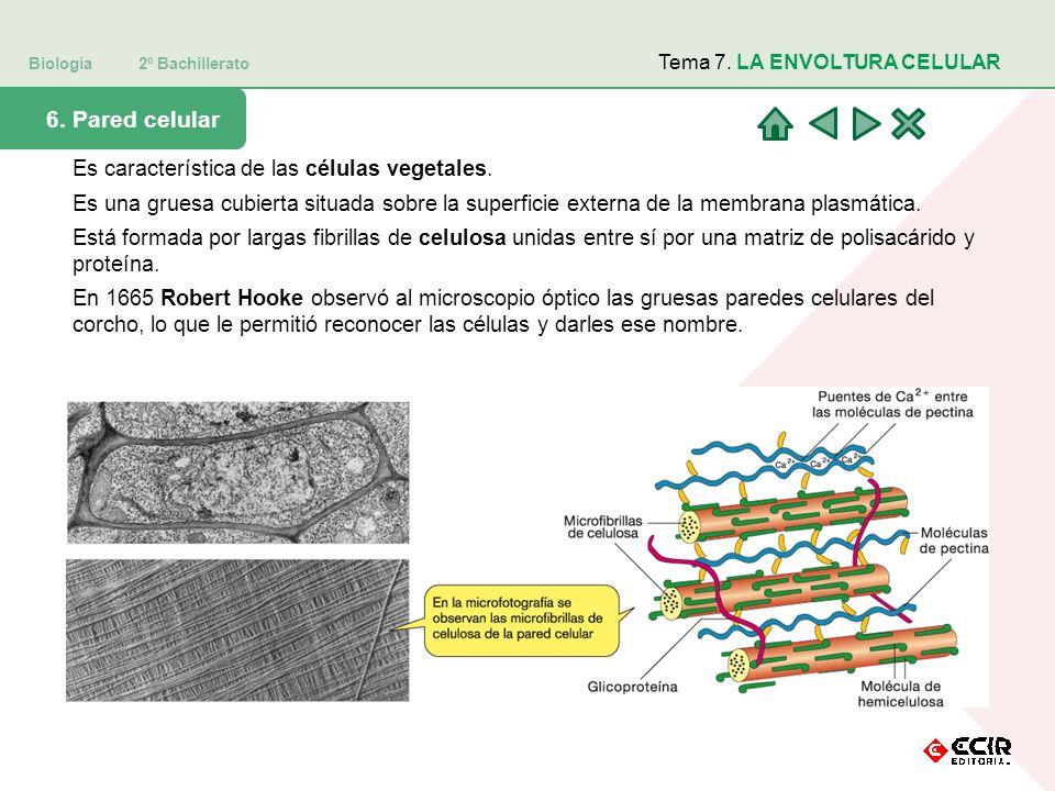 6. Pared celular Es característica de las células vegetales.
