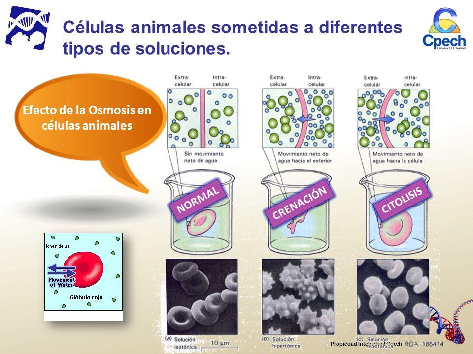 Células animales sometidas a diferentes tipos de soluciones.