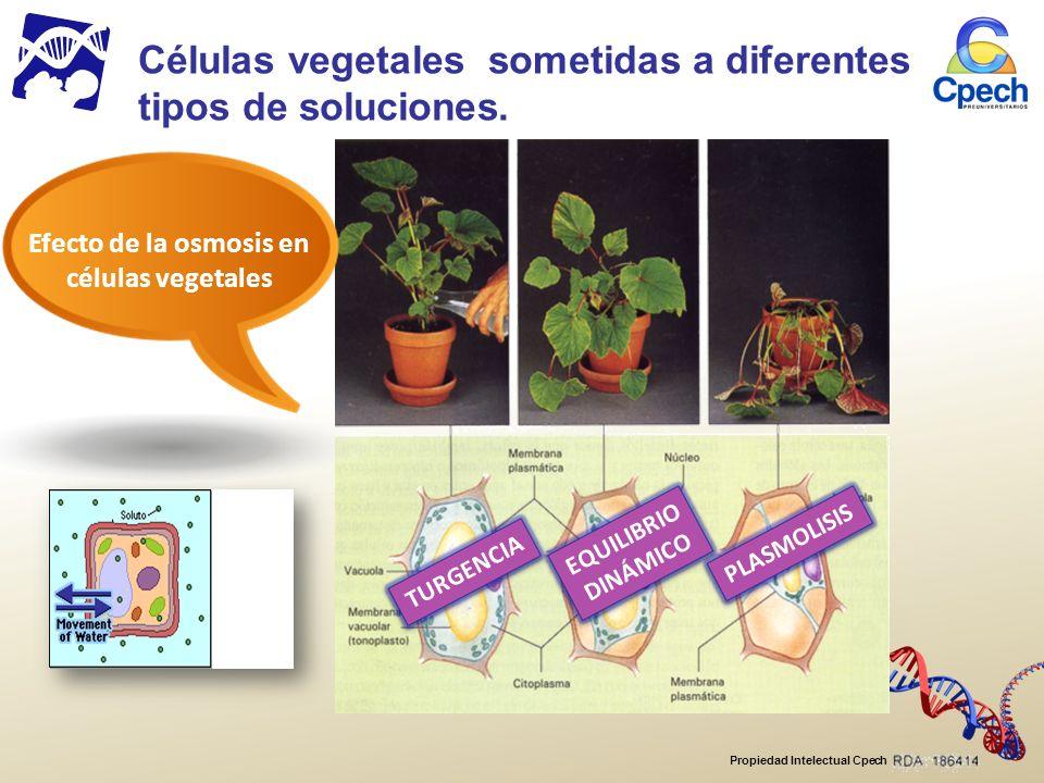 Células vegetales sometidas a diferentes tipos de soluciones.