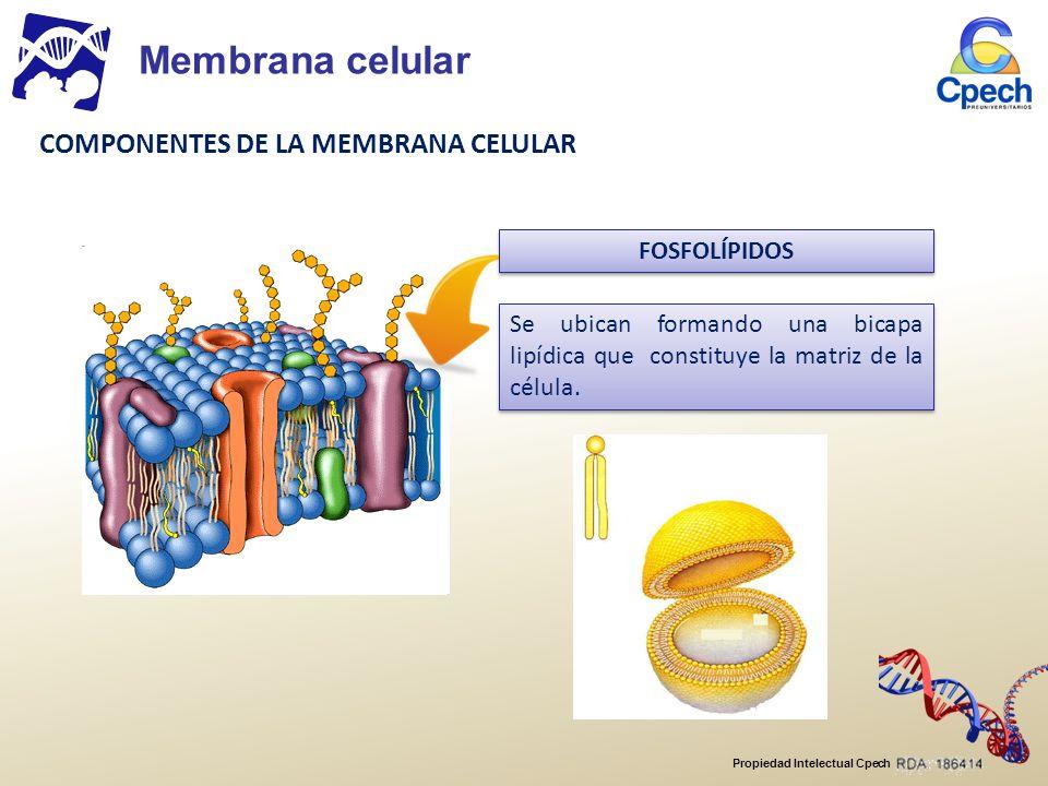 Membrana celular COMPONENTES DE LA MEMBRANA CELULAR FOSFOLÍPIDOS
