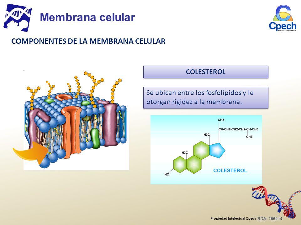 Membrana celular COMPONENTES DE LA MEMBRANA CELULAR COLESTEROL