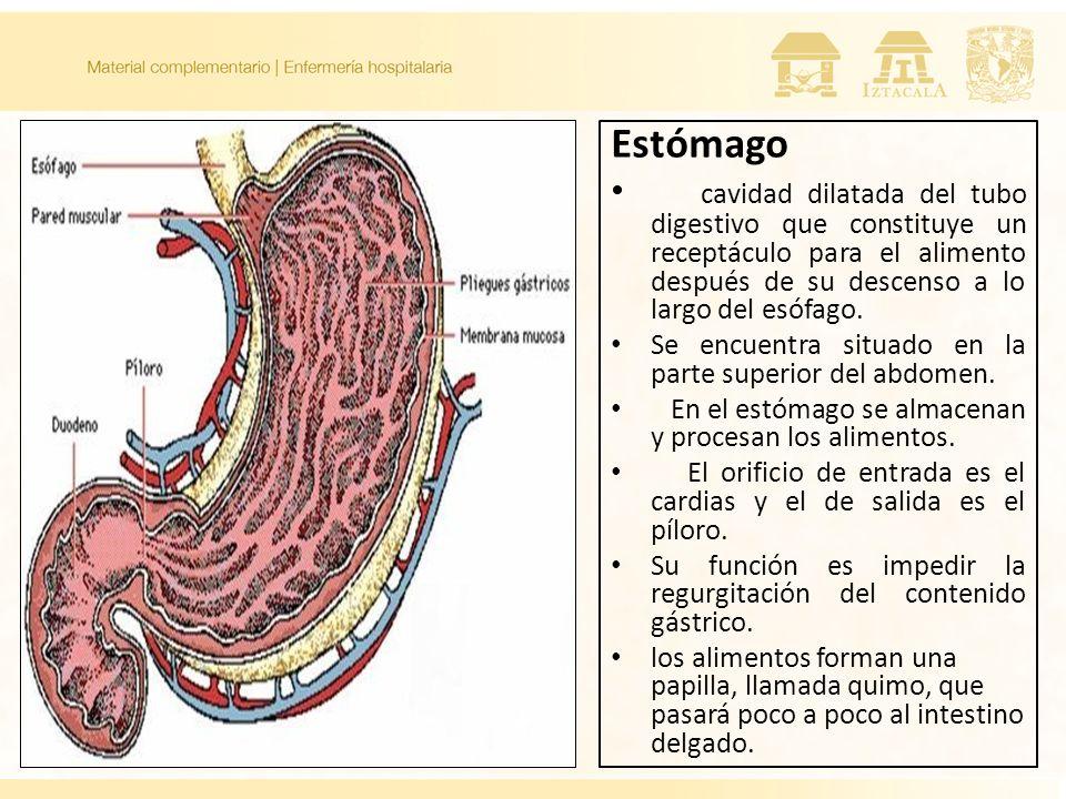 Estómago cavidad dilatada del tubo digestivo que constituye un receptáculo para el alimento después de su descenso a lo largo del esófago.