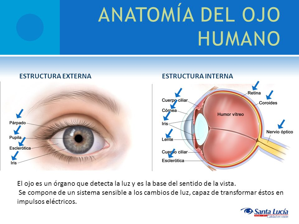 Anatomia Del Ojo Humano - vinhomesthuthiem.top