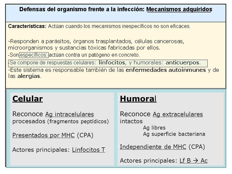 Celular Reconoce Ag intracelulares procesados (fragmentos peptídicos) Presentados por MHC (CPA) Actores principales: Linfocitos T.