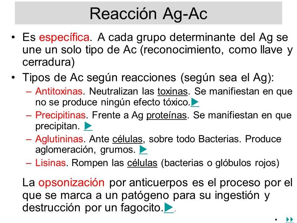Reacción Ag-Ac Es específica. A cada grupo determinante del Ag se une un solo tipo de Ac (reconocimiento, como llave y cerradura)
