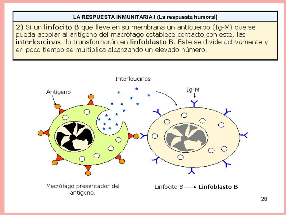 Si un linfocito B que lleve en su membrana un anticuerpo (Ig-M) que se pueda acoplar al antígeno del macrófago establece contacto con este, las interleucinas, lo transformarán en linfoblasto B que se divide activamente y en poco tiempo alcanza un elevado número.