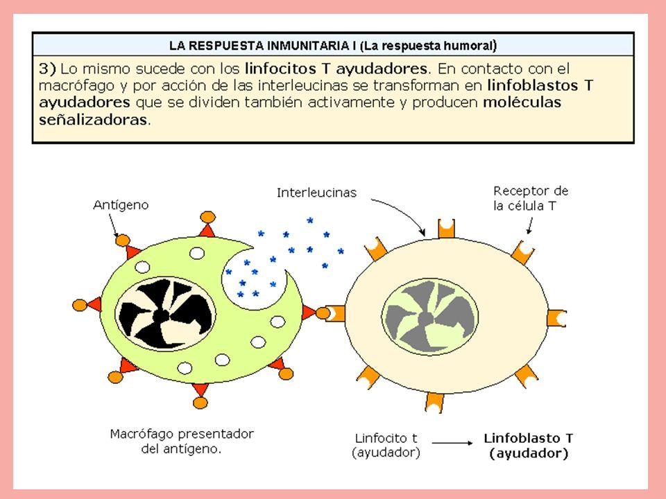 Lo mismo sucede con los linfocitos T ayudadores