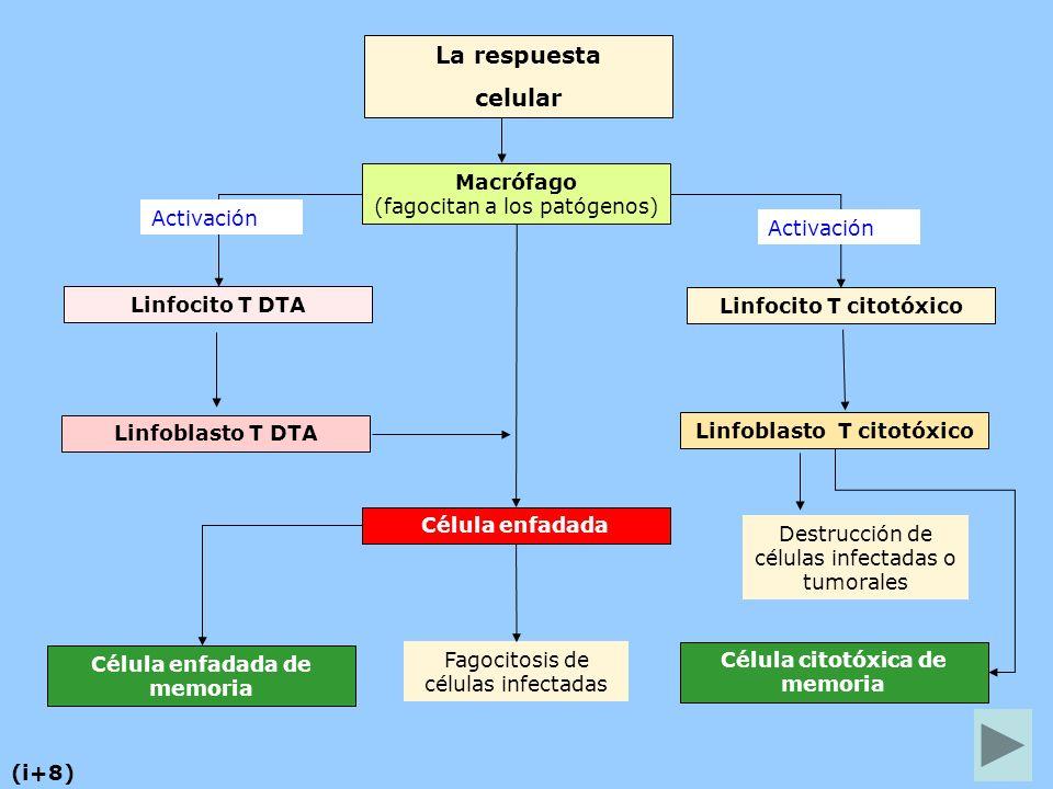 La respuesta celular Macrófago (fagocitan a los patógenos) Activación