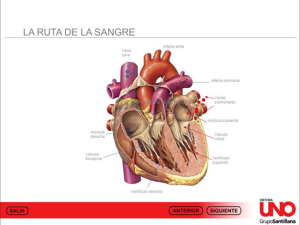 LA RUTA DE LA SANGRE Y todo vuelve a empezar… Arteria aorta Vena cava