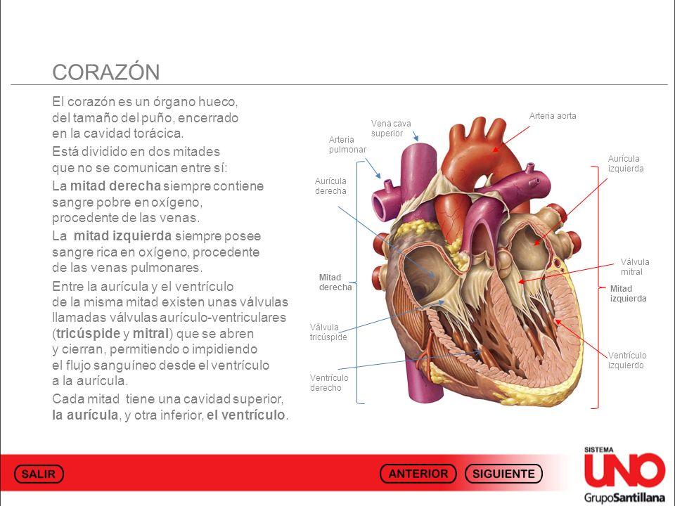 CORAZÓN El corazón es un órgano hueco, del tamaño del puño, encerrado en la cavidad torácica.