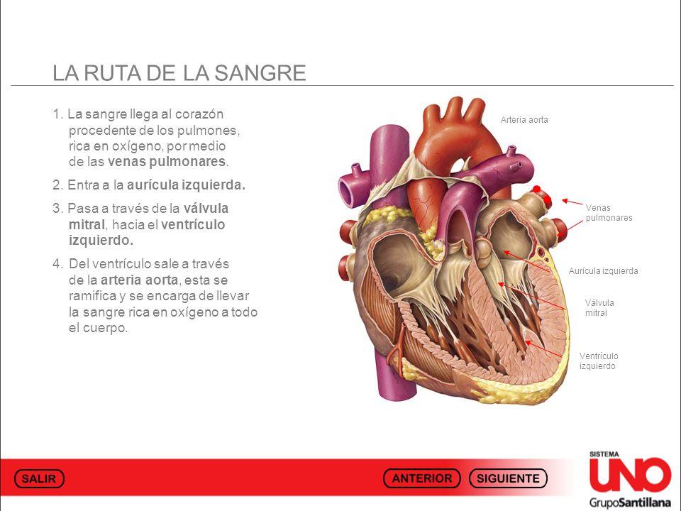 LA RUTA DE LA SANGRE 1. La sangre llega al corazón procedente de los pulmones, rica en oxígeno, por medio de las venas pulmonares.