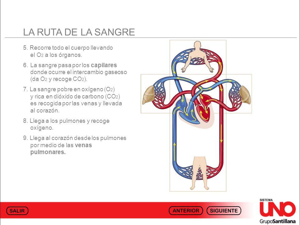 LA RUTA DE LA SANGRE 5. Recorre todo el cuerpo llevando el O2 a los órganos.