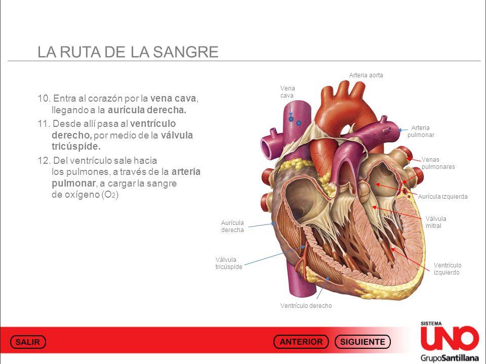 LA RUTA DE LA SANGRE Arteria aorta. Vena cava. 10. Entra al corazón por la vena cava, llegando a la aurícula derecha.