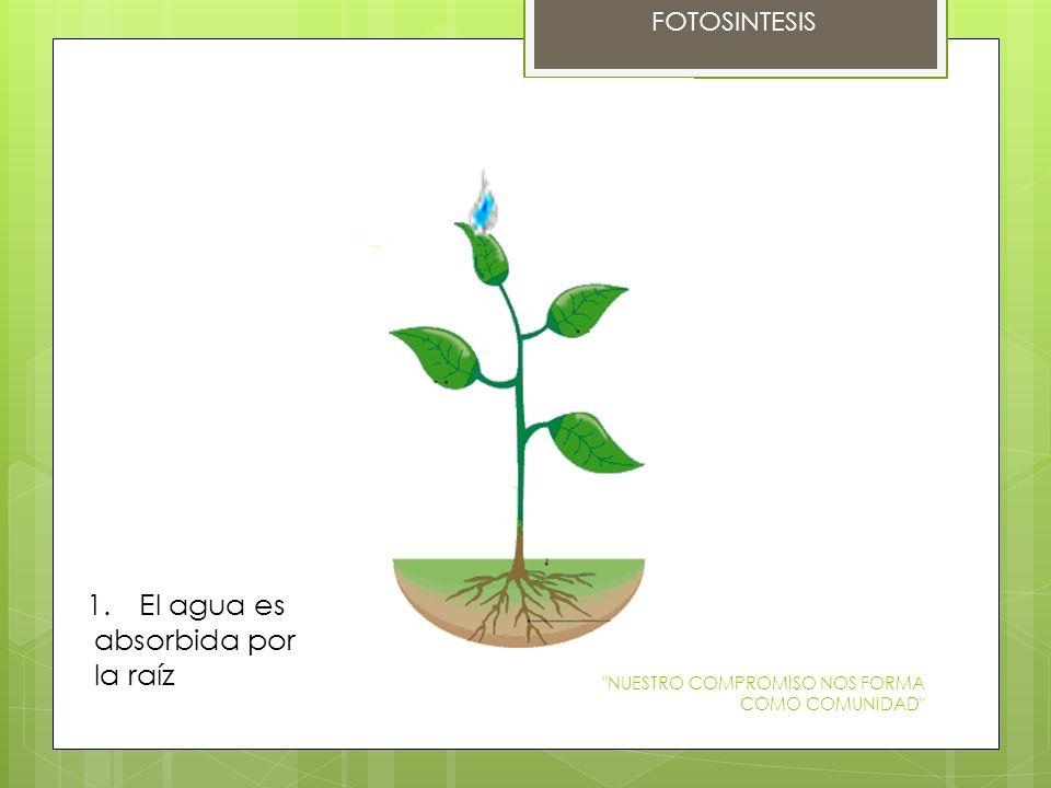 El agua es absorbida por la raíz FOTOSINTESIS
