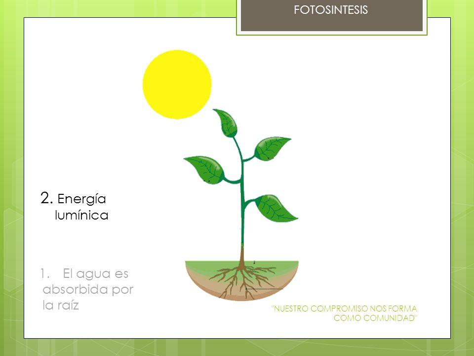 2. Energía lumínica El agua es absorbida por la raíz FOTOSINTESIS