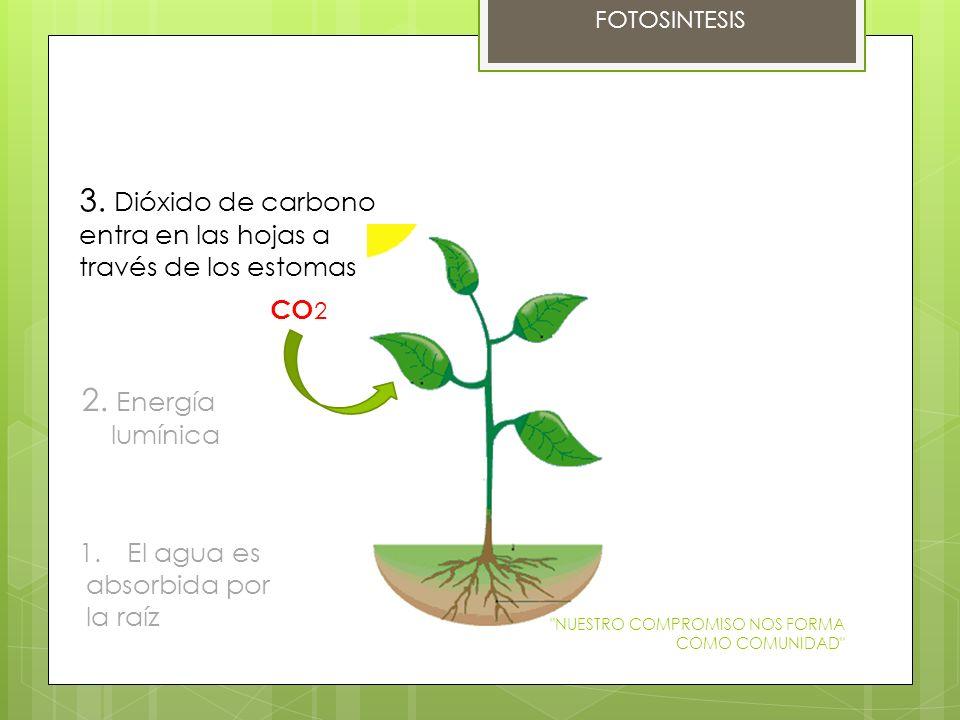 3. Dióxido de carbono entra en las hojas a