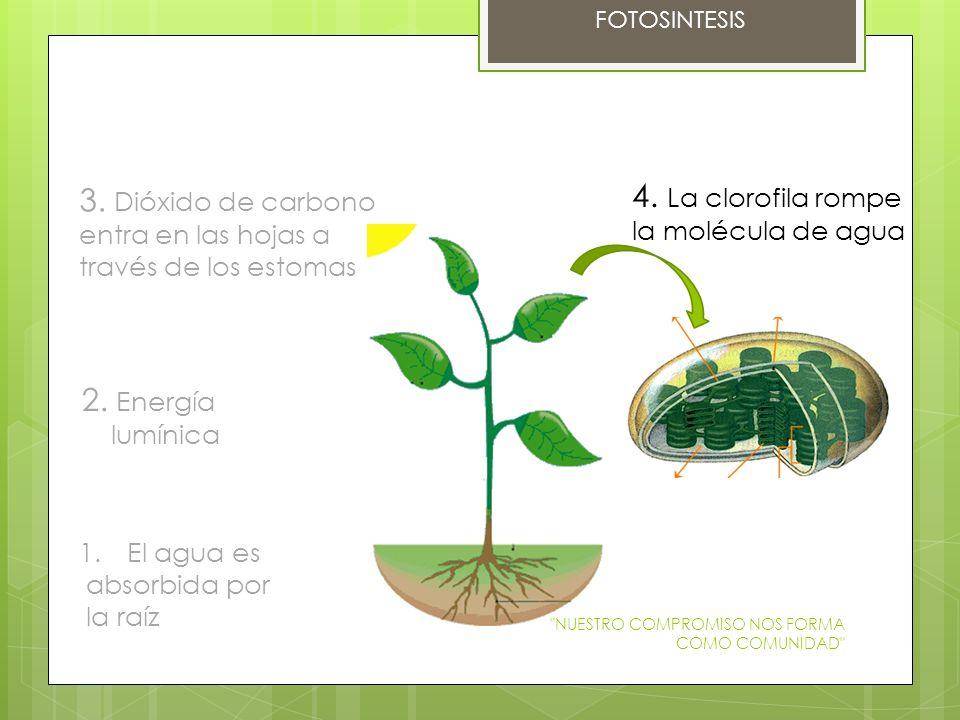 3. Dióxido de carbono entra en las hojas a 4. La clorofila rompe
