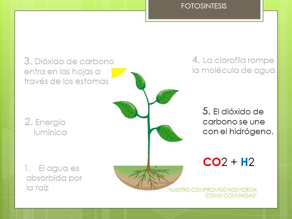 CO2 + H2 4. La clorofila rompe