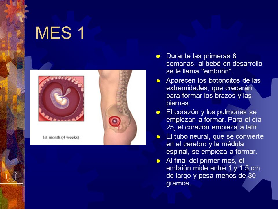 MES 1 Durante las primeras 8 semanas, al bebé en desarrollo se le llama embrión .