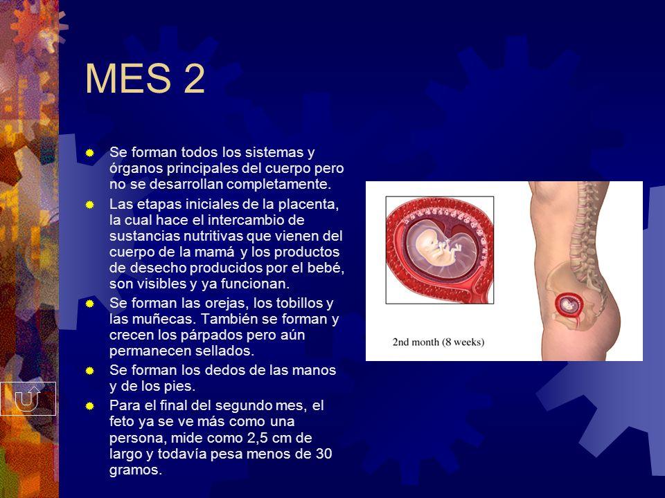 MES 2 Se forman todos los sistemas y órganos principales del cuerpo pero no se desarrollan completamente.
