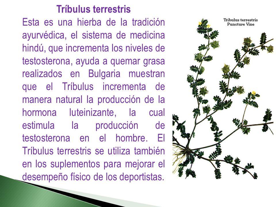 Tríbulus terrestris
