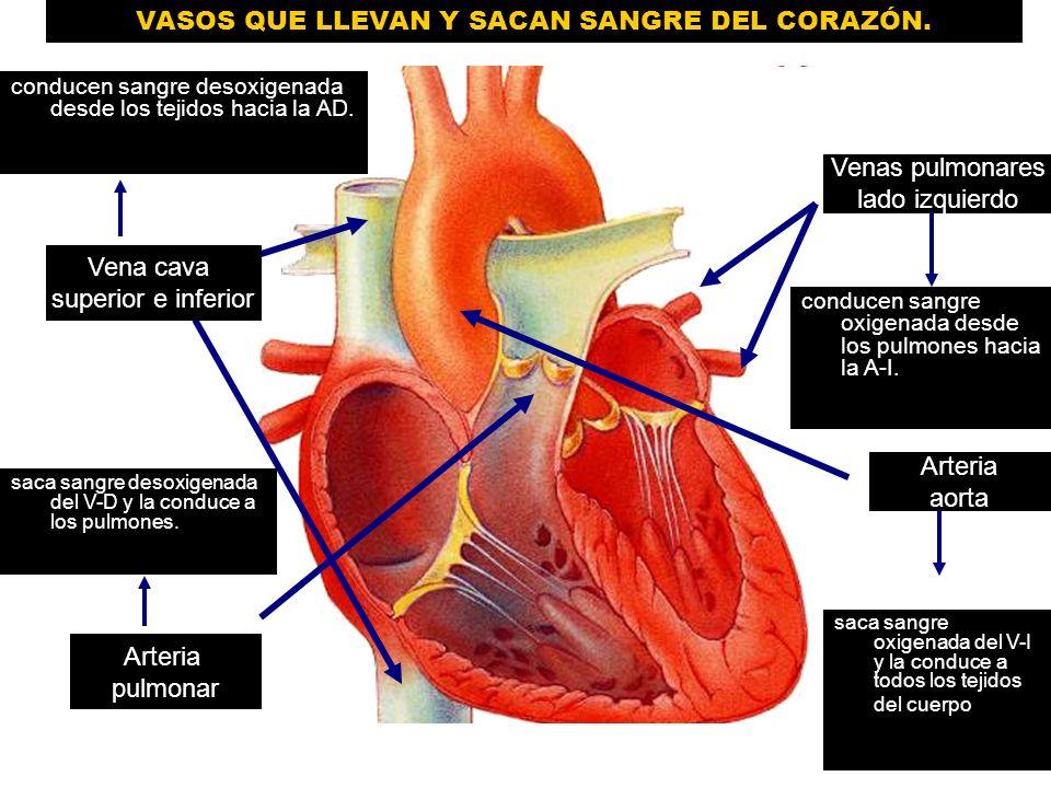 Encantador Vasos Cardíacos Anatomía Componente - Imágenes de ...