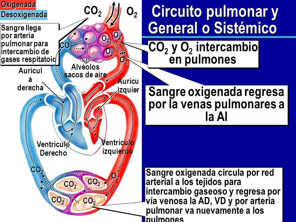 Circuito Pulmonar : AnatomÍa y funciÓn del corazÓn ppt descargar