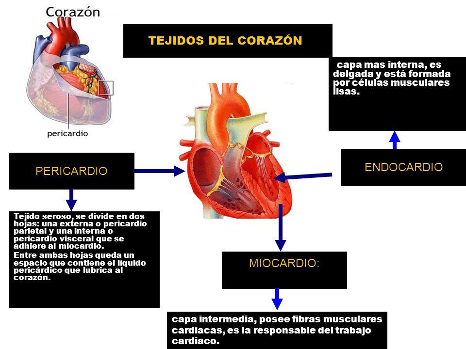 Vistoso Anatomía Muscular Hoja De Etiquetado Bosquejo - Imágenes de ...