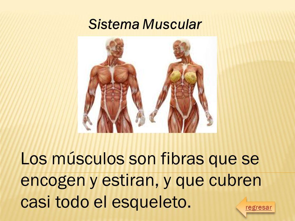 Encantador Conocido Como El Sistema Muscular Foto - Anatomía de Las ...