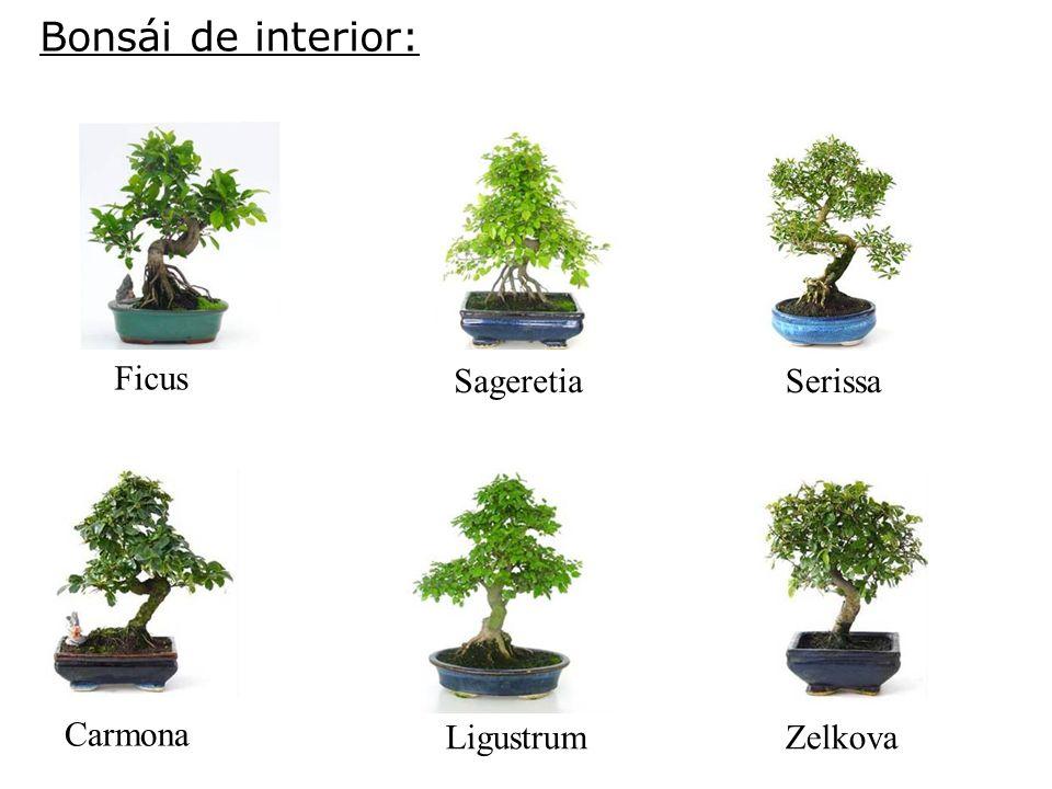 Bonsái de interior: Ficus Sageretia Serissa Carmona Ligustrum Zelkova