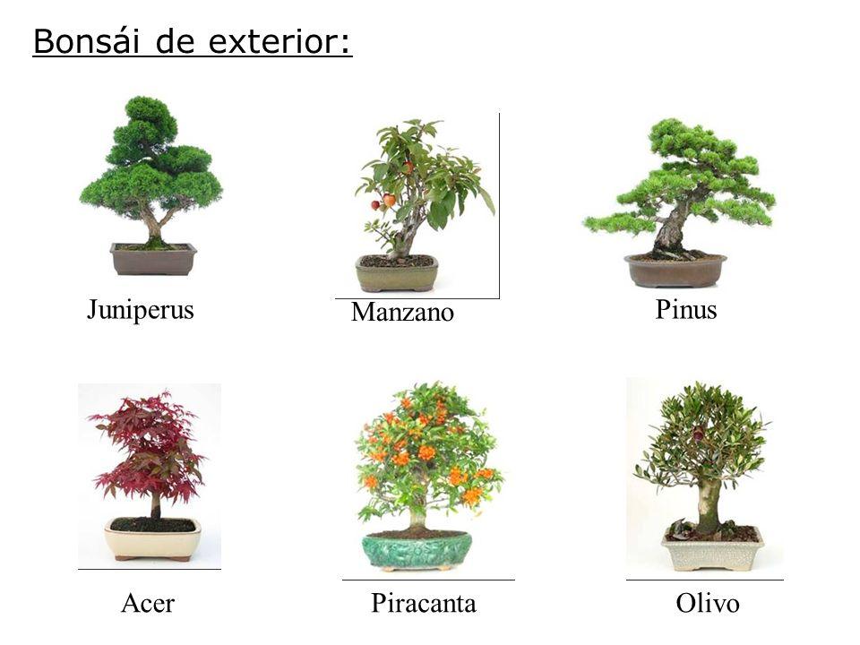 Bonsái de exterior: Juniperus Manzano Pinus Acer Piracanta Olivo