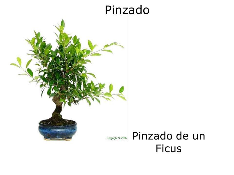 Pinzado Pinzado de un Ficus