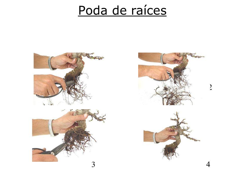 Poda de raíces 1. 2.