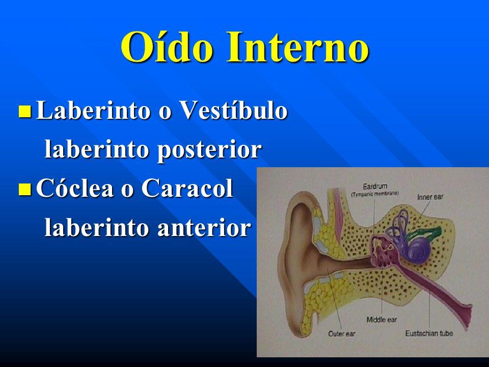 Oído Interno Laberinto o Vestíbulo laberinto posterior