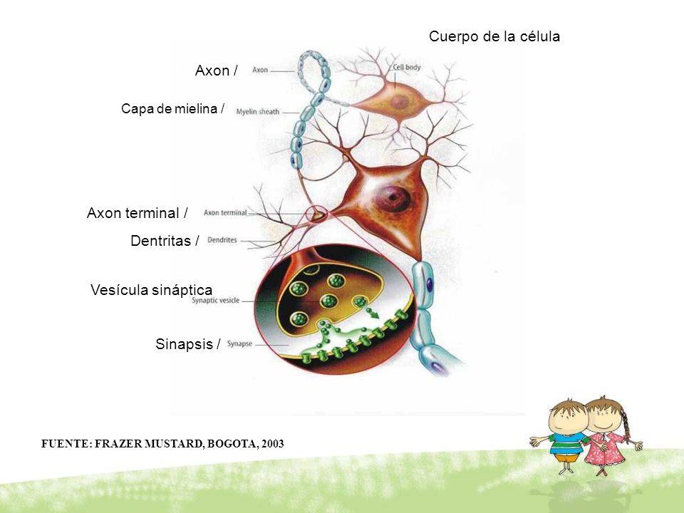 Cuerpo de la célula Axon / Axon terminal / Dentritas /